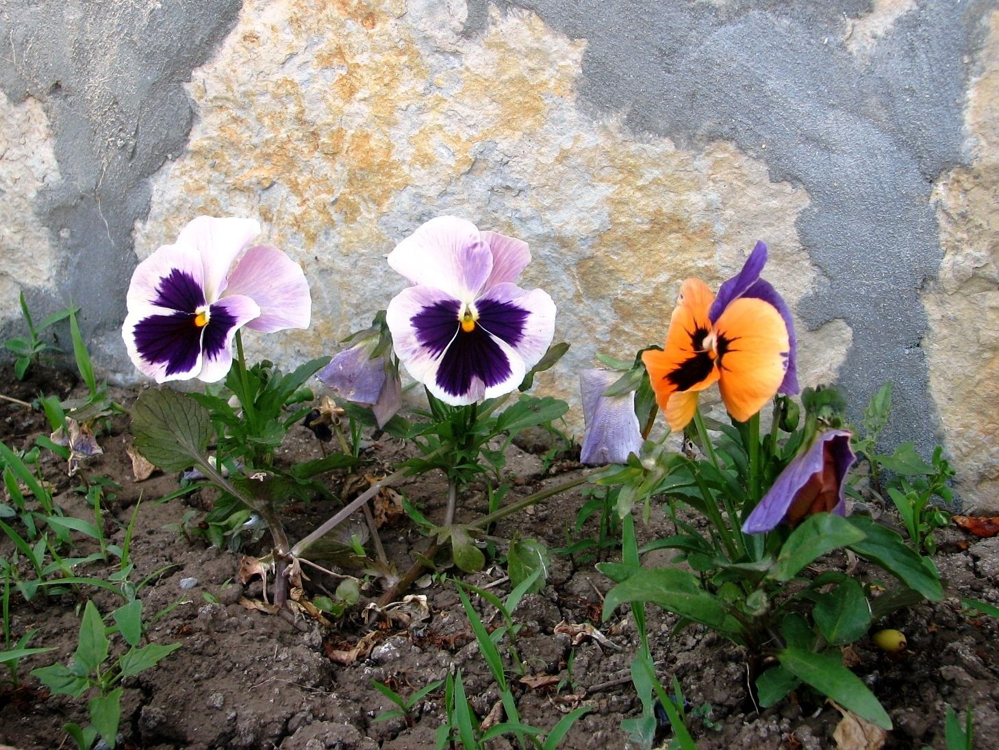 spring flowers grace of pansy violets