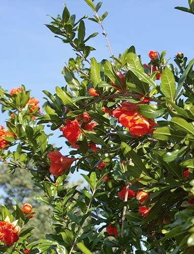Arbres et arbustes flore de senlisse - Arbre murier fruit comestible ...