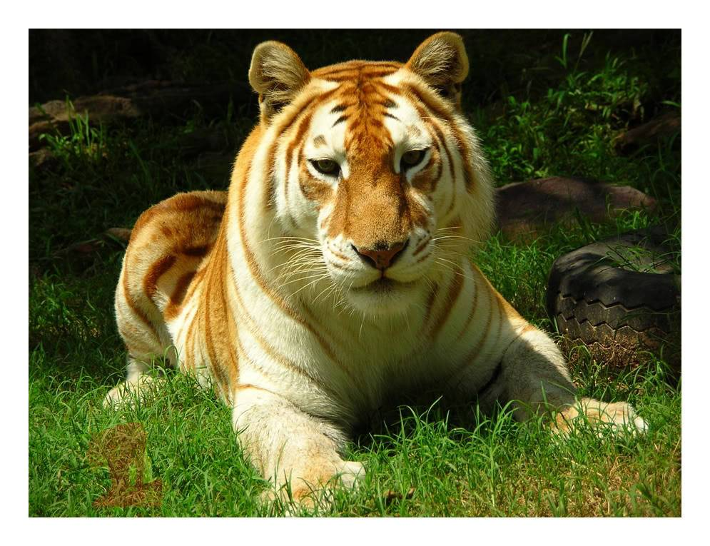 golden bengal tiger